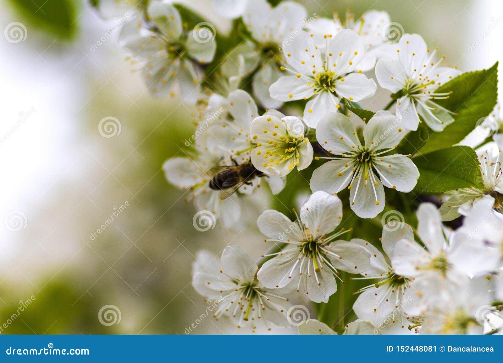 Η μέλισσα στο α μπορεί μήλο να ανθίσει