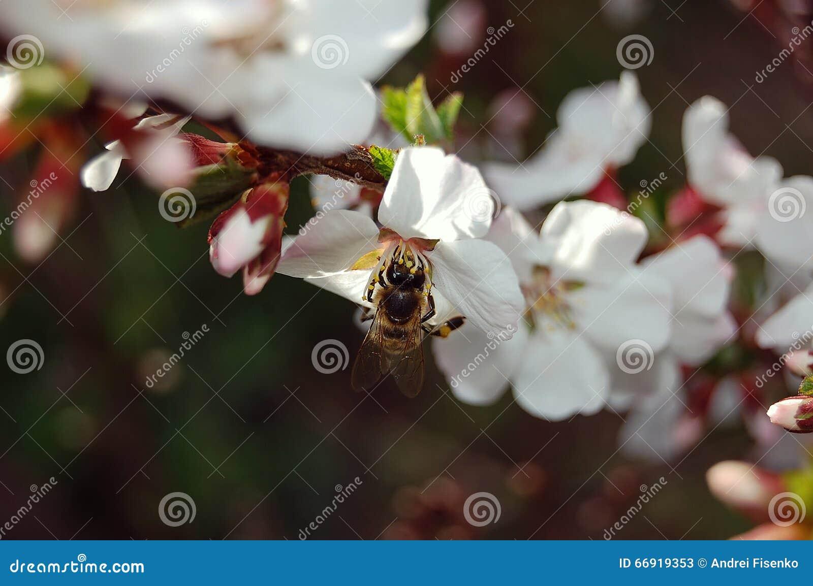 Η μέλισσα συλλέγει το νέκταρ από ένα άνθος κερασιών, κινηματογράφηση σε πρώτο πλάνο