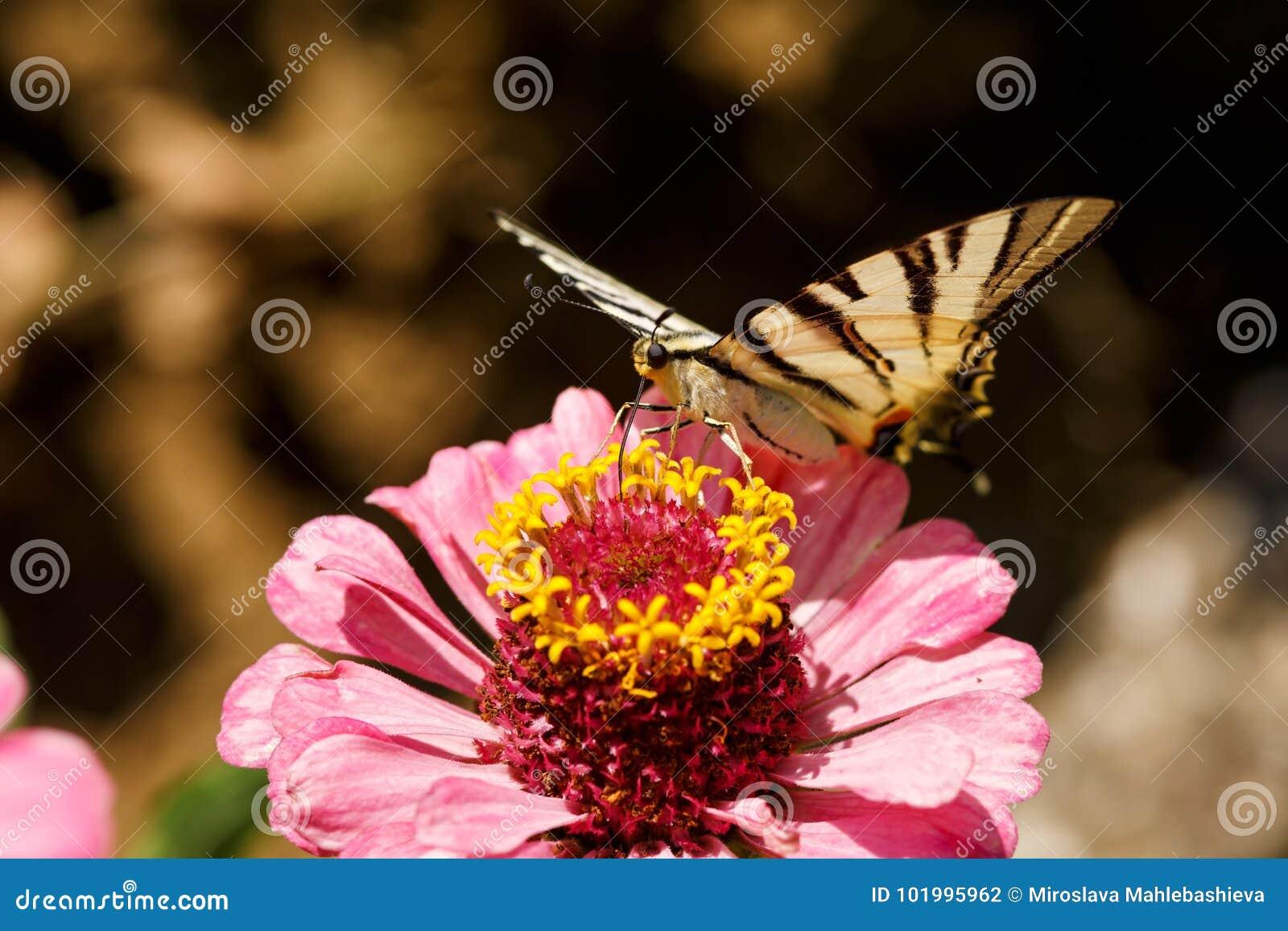 Η μακροεντολή μιας πεταλούδας Swallowtail Papilionidae στη Zinnia elegans ανθίζει στο θολωμένο φυσικό κλίμα μια φωτεινή θερινή ημ