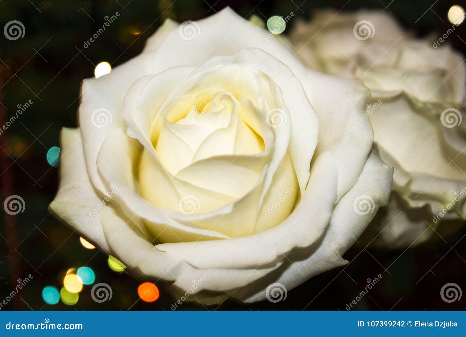 η μακρο φωτογραφία πετάλων λουλουδιών pistil αυξήθηκε stamens έξοχο λευκό Άσπρος αυξήθηκε με dew
