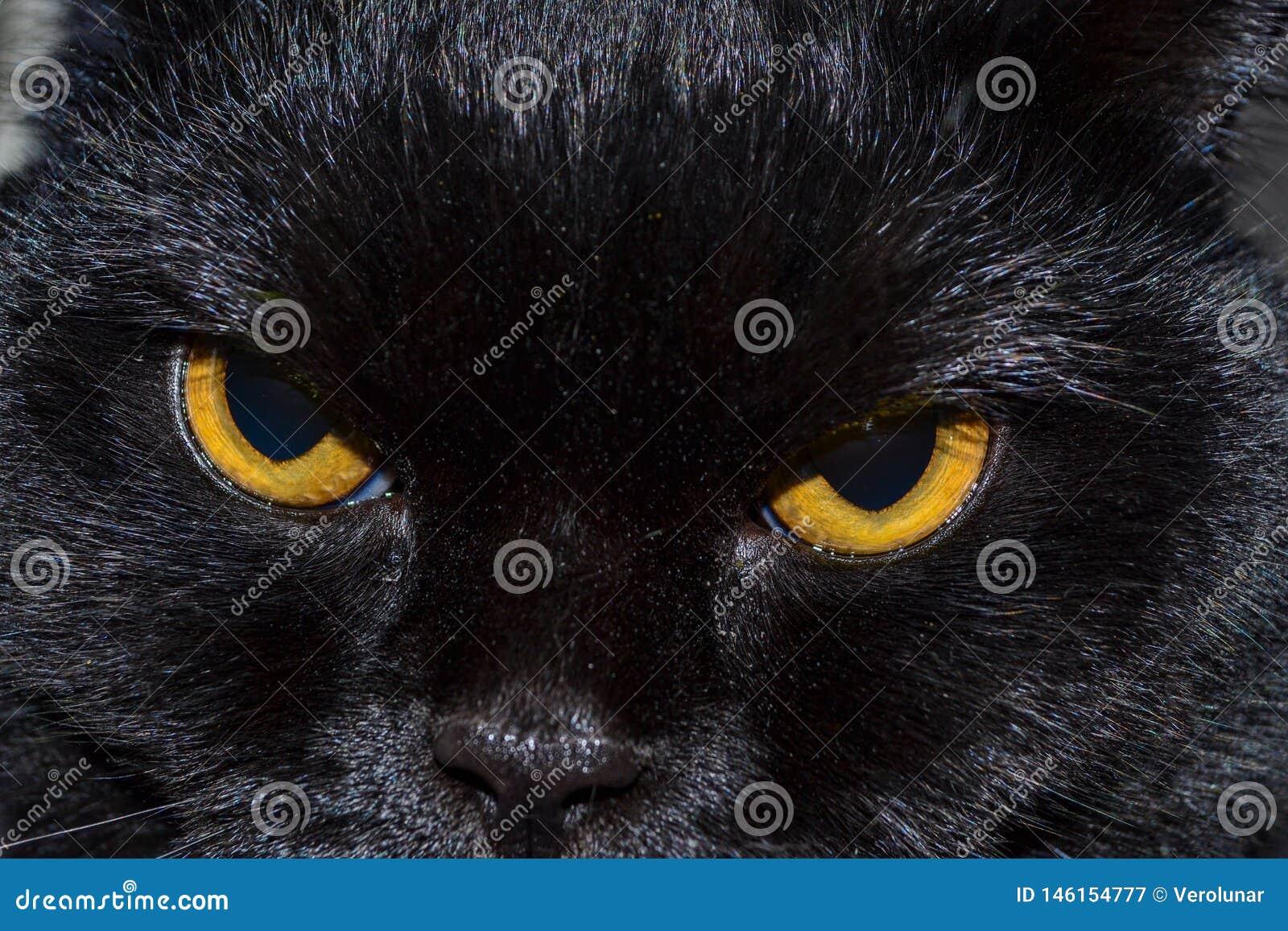 Η μαύρη γάτα εξετάζει σας με τα φωτεινά κίτρινα μάτια