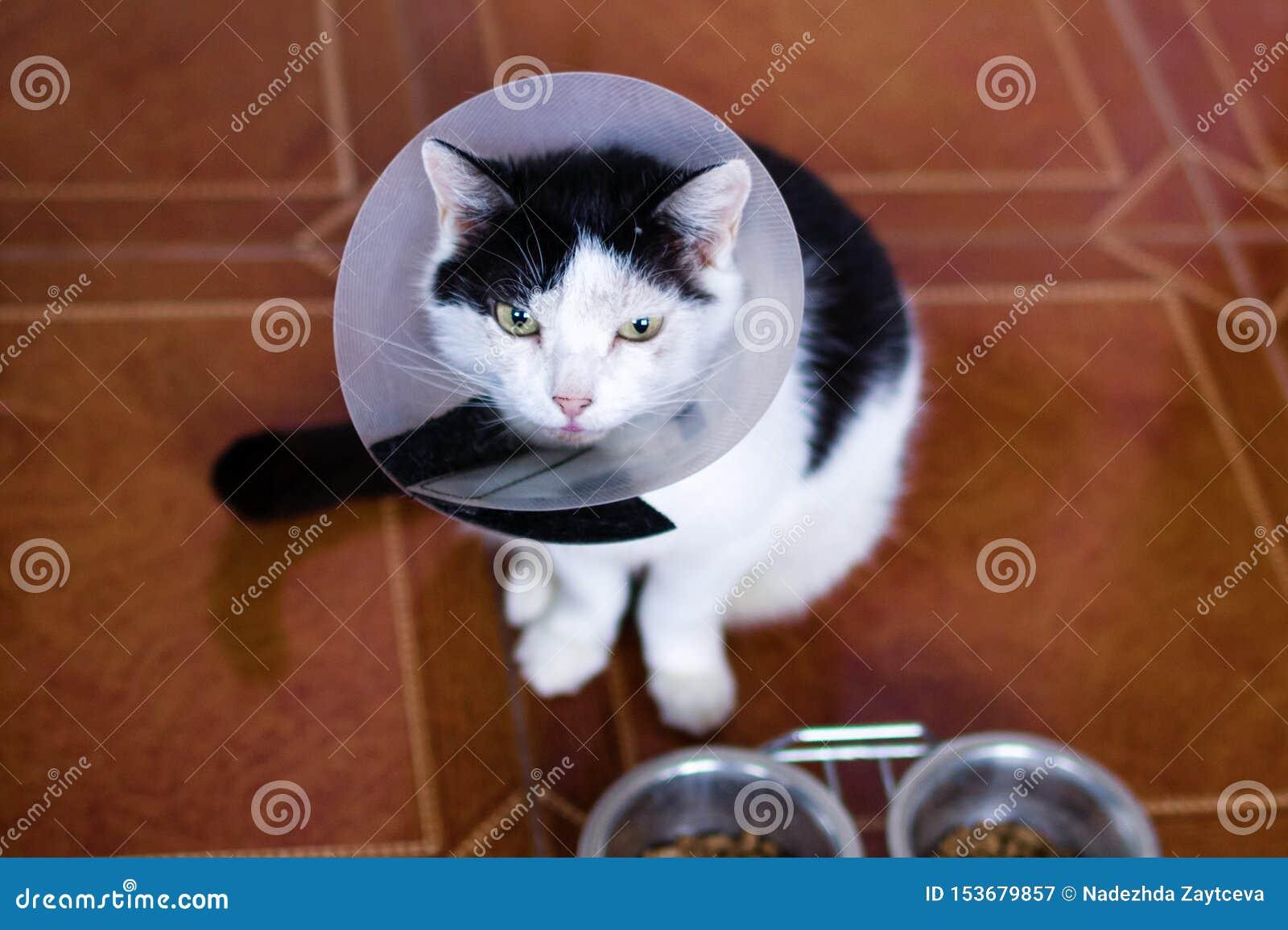 Η μαύρος-άσπρη γάτα με το πλαστικό ιατρικό περιλαίμιο κάθεται σε ένα πάτωμα της κουζίνας πλησίον στα κύπελλα με τα τρόφιμα γατών