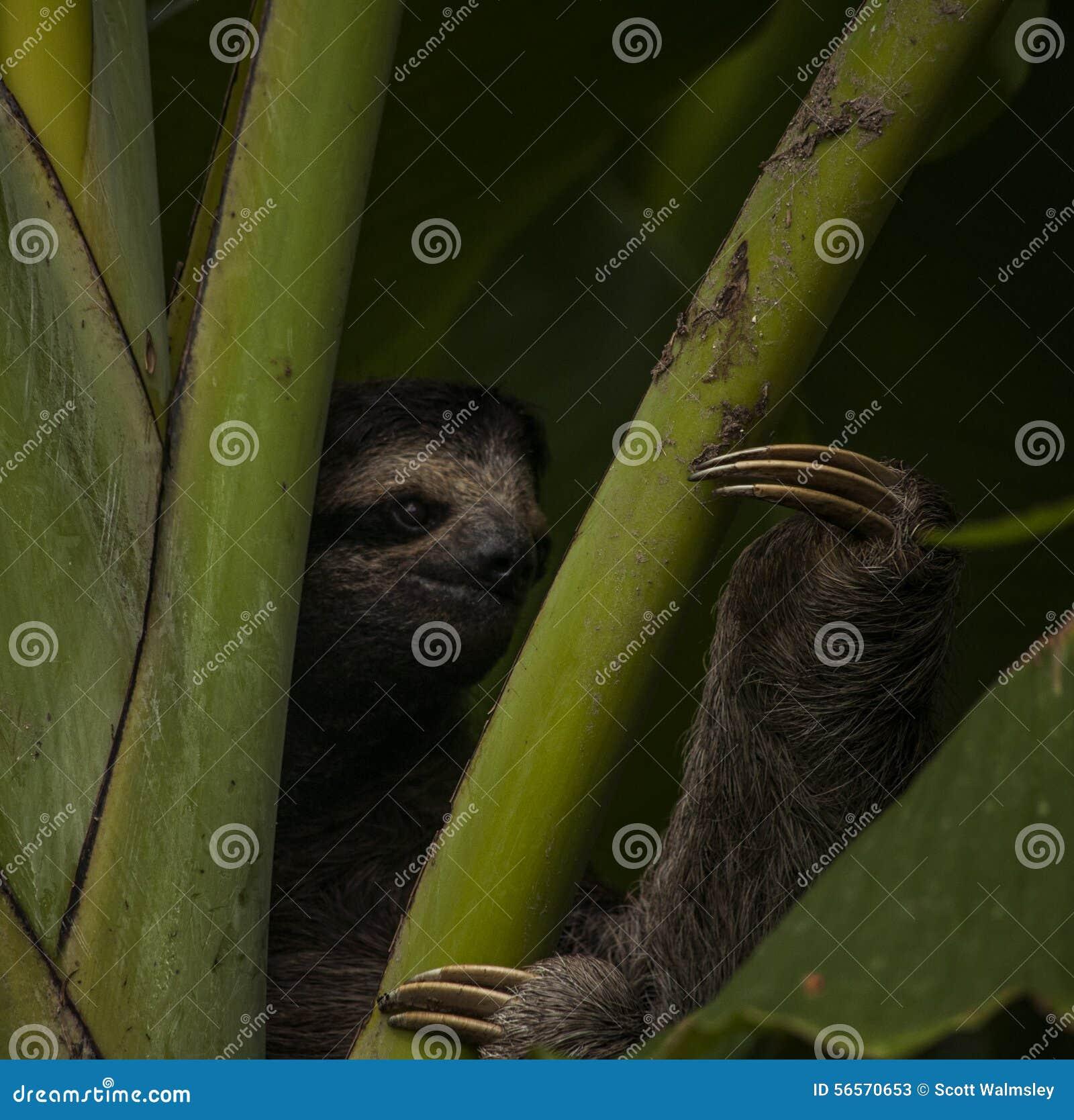 Download η νωθρότητα τρία στοκ εικόνα. εικόνα από τρία, tropics - 56570653