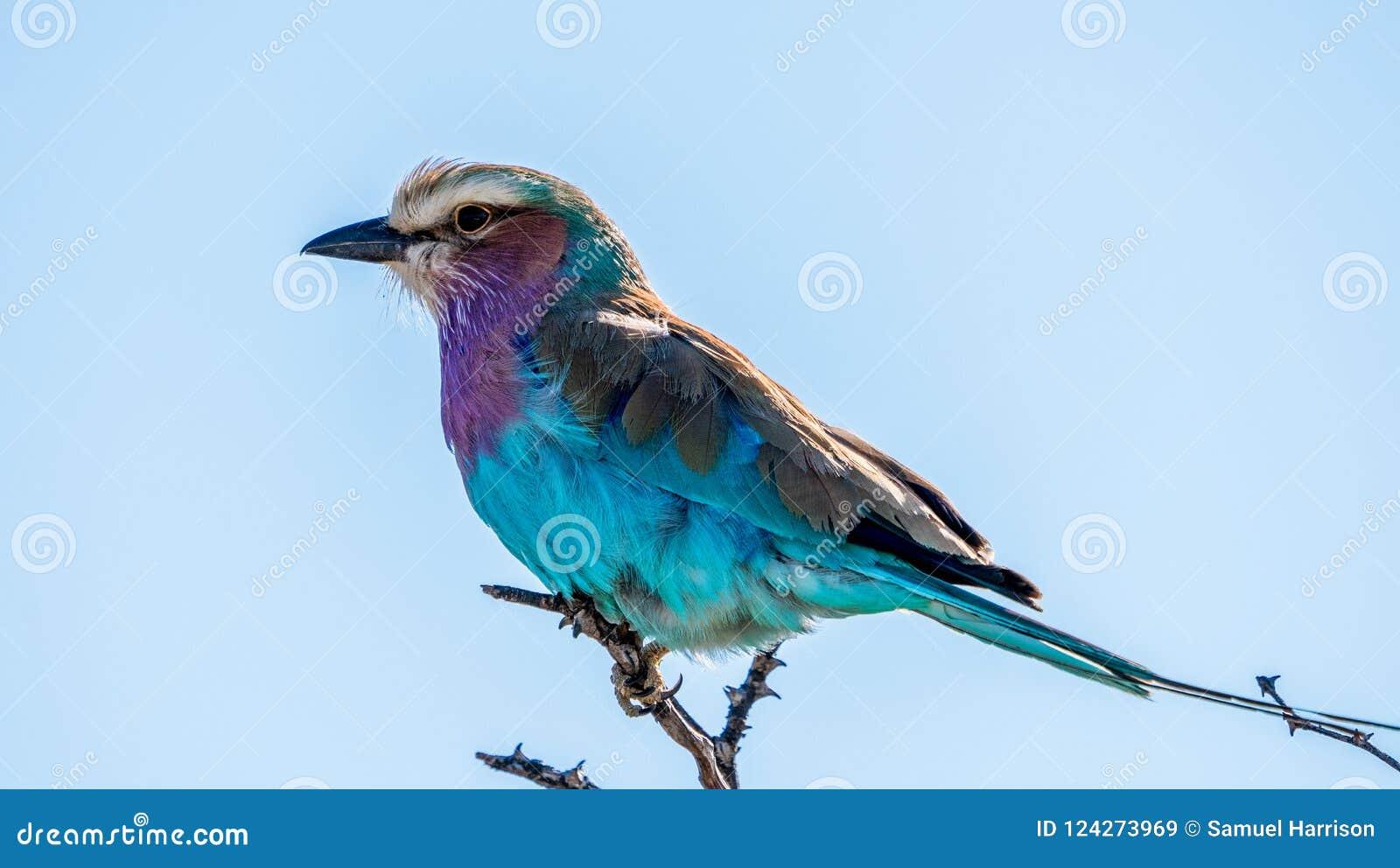 Η πασχαλιά ο κύλινδρος, ένα αφρικανικό πουλί με πολλά φωτεινά φτερά