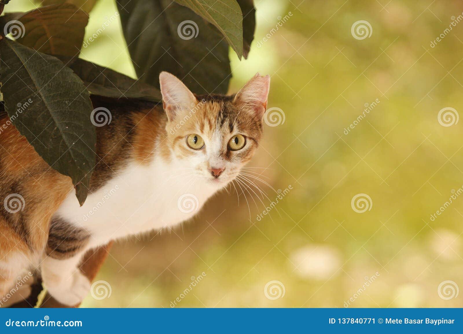 Η περιπλανώμενη γάτα tricolor με την κοντά γούνα και το α κοιτάζει επίμονα