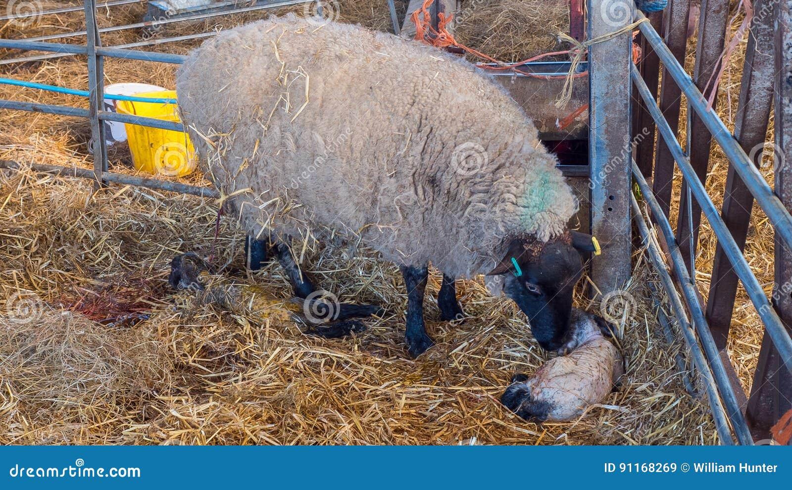 Η προβατίνα προβάτων γλείφει το αρνί της μετά από να γεννήσει