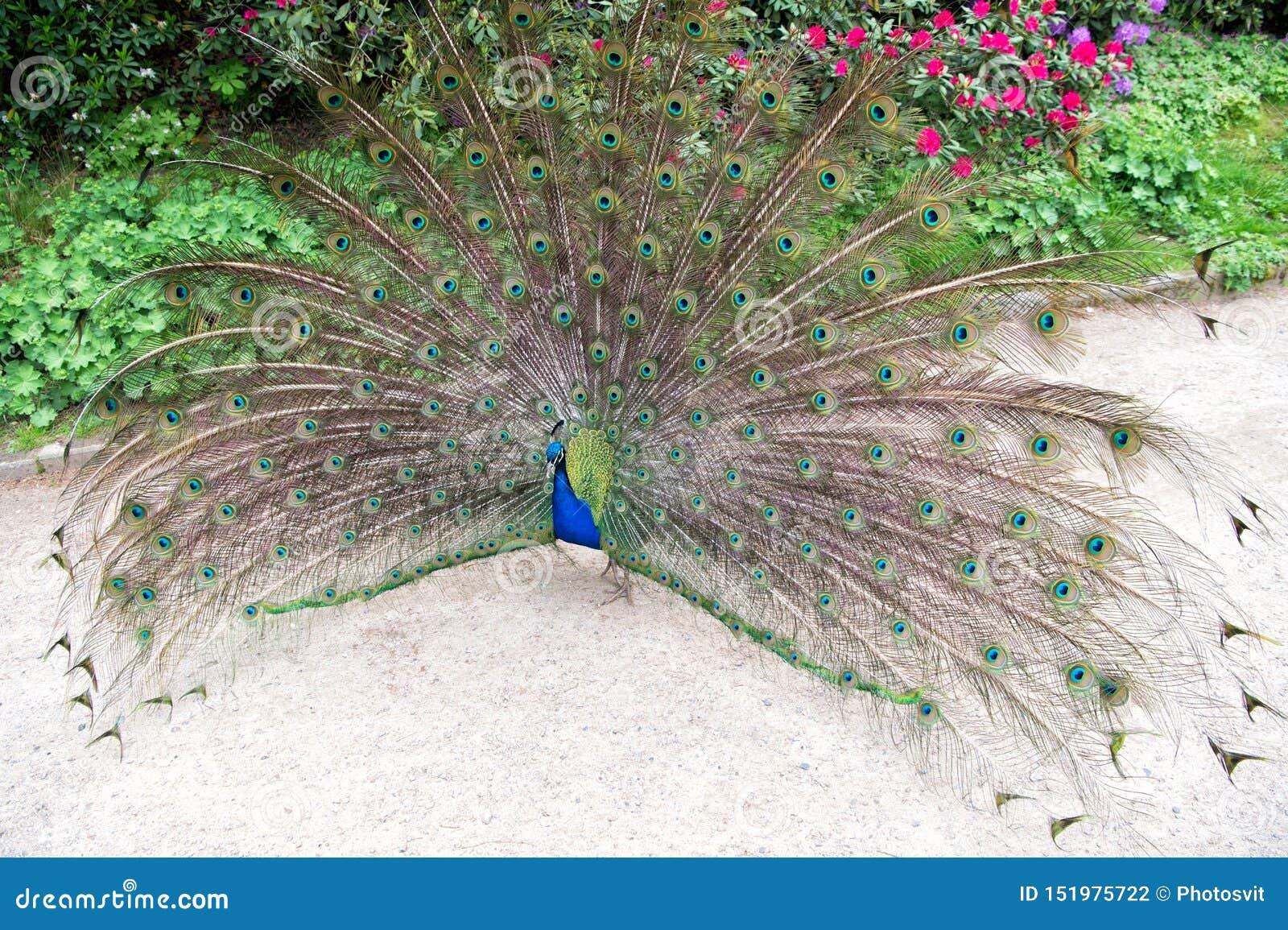 Η προσπάθεια να προσελκύσει Πουλί Peacock που παρουσιάζει φτερά του Όμορφο πουλί peafowl τη θερινή ημέρα Αρσενικό πουλί peacock