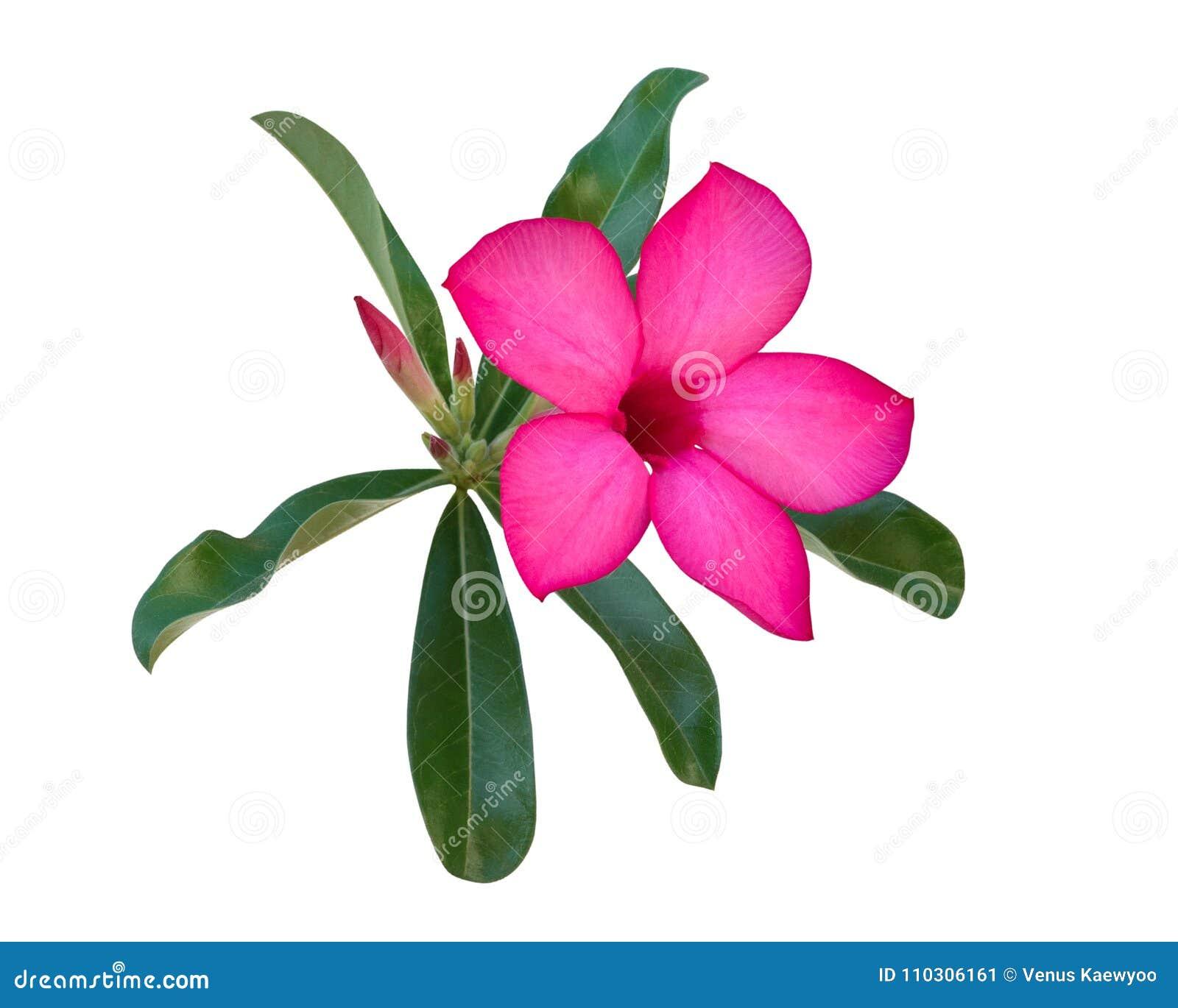 Η ρόδινη έρημος αυξήθηκε λουλούδι Adenium, αζαλέα που απομονώθηκε στο άσπρο υπόβαθρο, πορεία