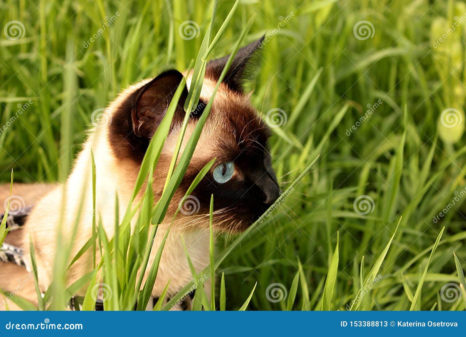 Η σιαμέζα γάτα κυνηγά στη χλόη