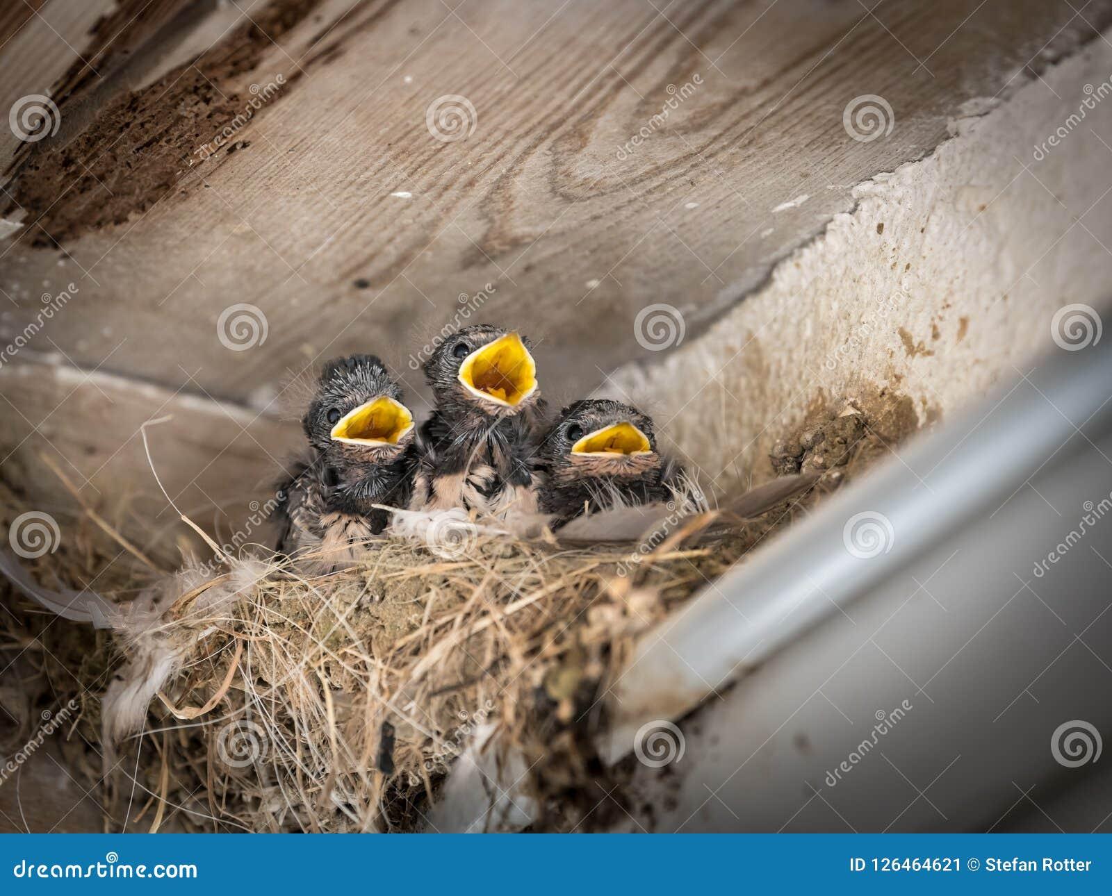 Η σιταποθήκη τρία καταπίνει τους νεοσσούς που κάθονται σε μια φωλιά και που περιμένουν να ταϊστεί