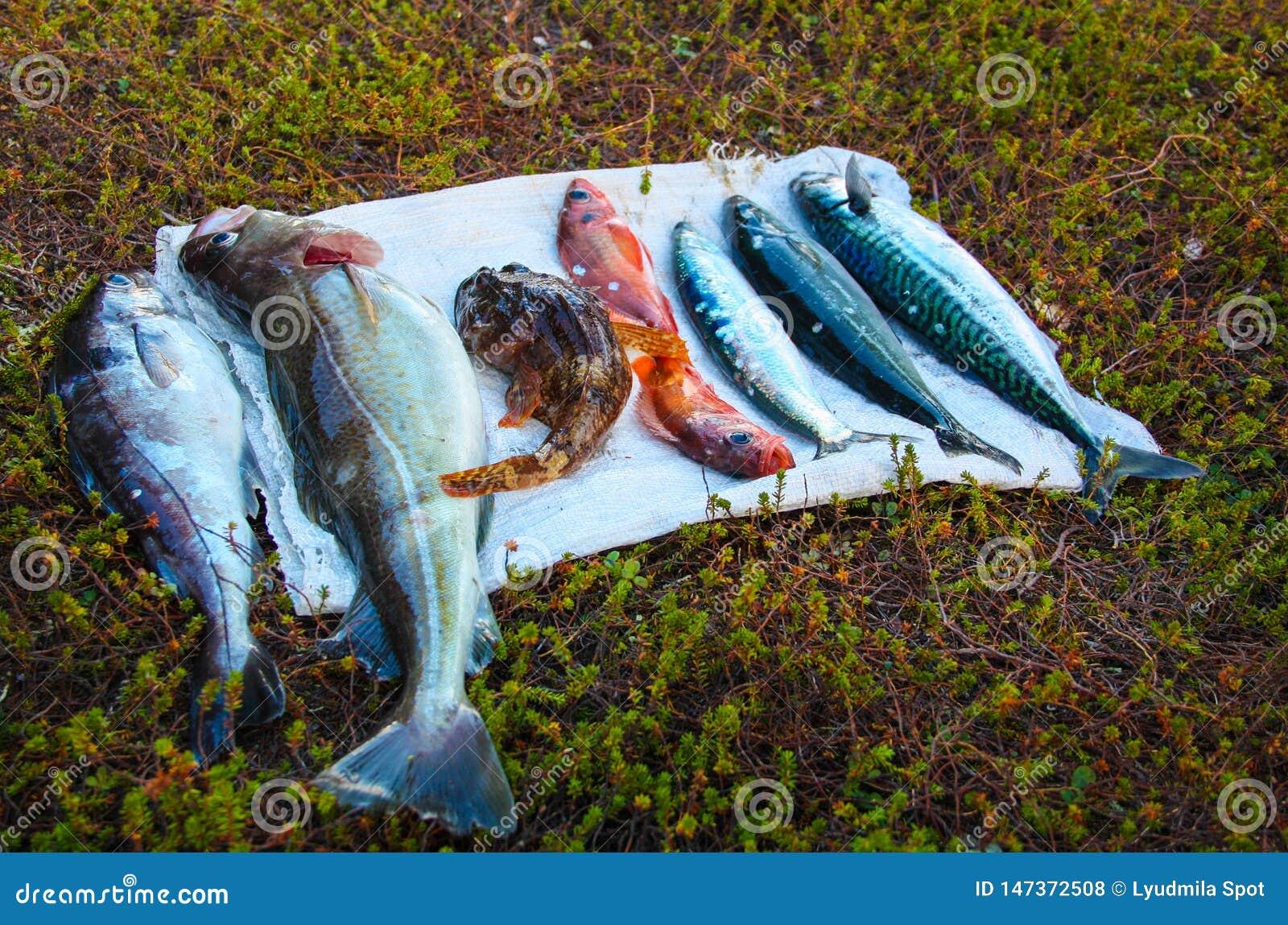 Η σύλληψη στο Pesca θάλασσας Barents, βακαλάος, βακαλάος σαφρανιού, πέρκες θάλασσας, γοβιός θάλασσας, ρέγγες, σκουμπρί