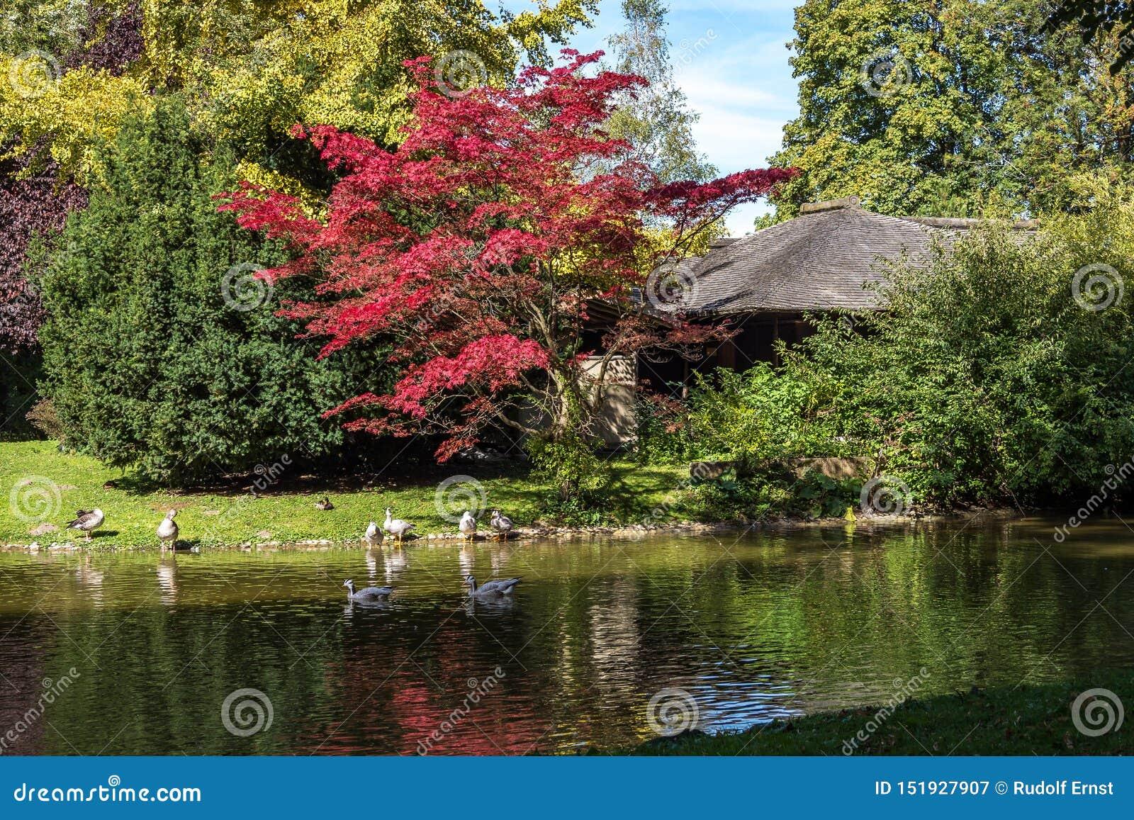 Η φραγμός-διευθυνμένη χήνα, indicus Anser που βλέπει στον αγγλικό κήπο στο Μόναχο