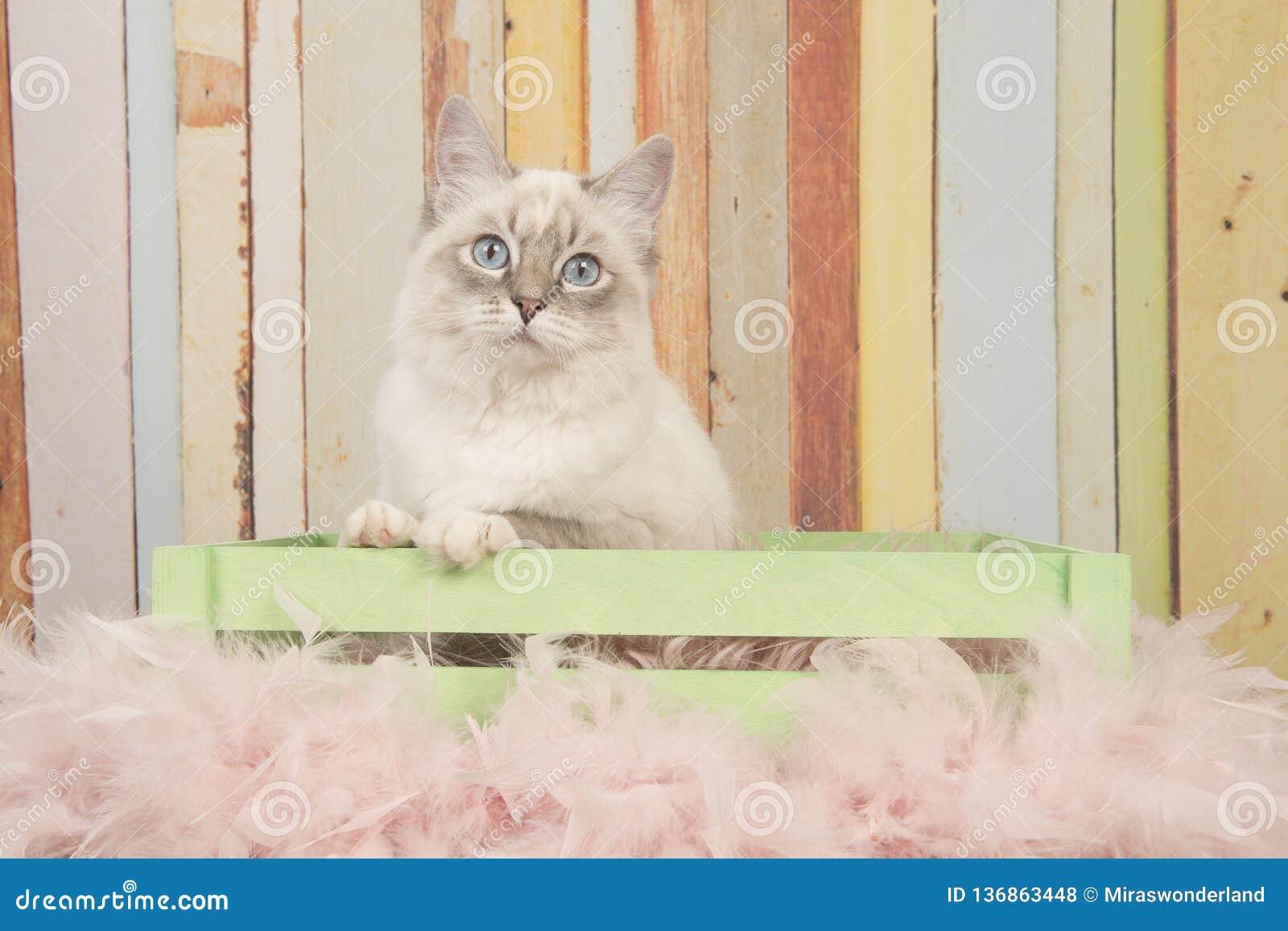 Η χαριτωμένη γάτα ragdoll με τα μπλε μάτια που εξετάζουν τη συνεδρίαση καμερών σε ένα κλουβί σε μια κρητιδογραφία χρωμάτισε το υπ