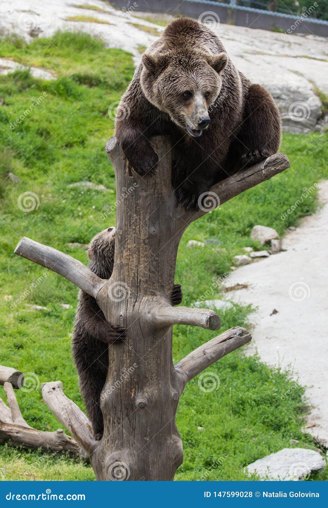 Η χαριτωμένη οικογένεια της καφετιάς μητέρας αρκούδων αφορά και cub μωρών της το παιχνίδι έναν κορμό δέντρων που αναρριχείται και