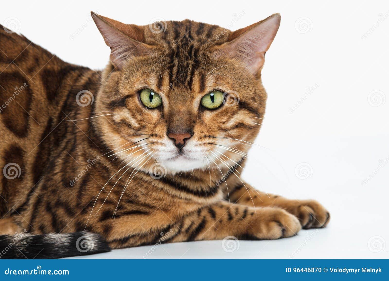 2be76e6b333e Η χρυσή γάτα της Βεγγάλης στο άσπρο υπόβαθρο Στοκ Εικόνες - εικόνα ...
