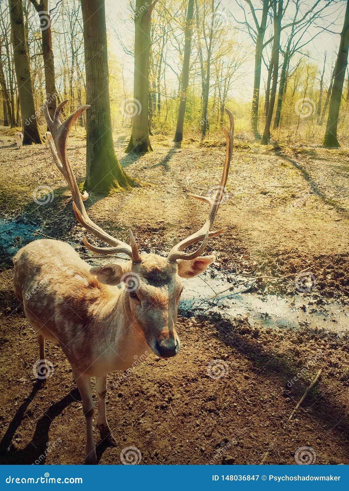 Η όμορφη άγρια δασική σκηνή ως ήλιος πρωινού λάμπει μέσω των δέντρων και των περιπάτων παραμυθιού ελαφιών αρσενικών ελαφιών προσε