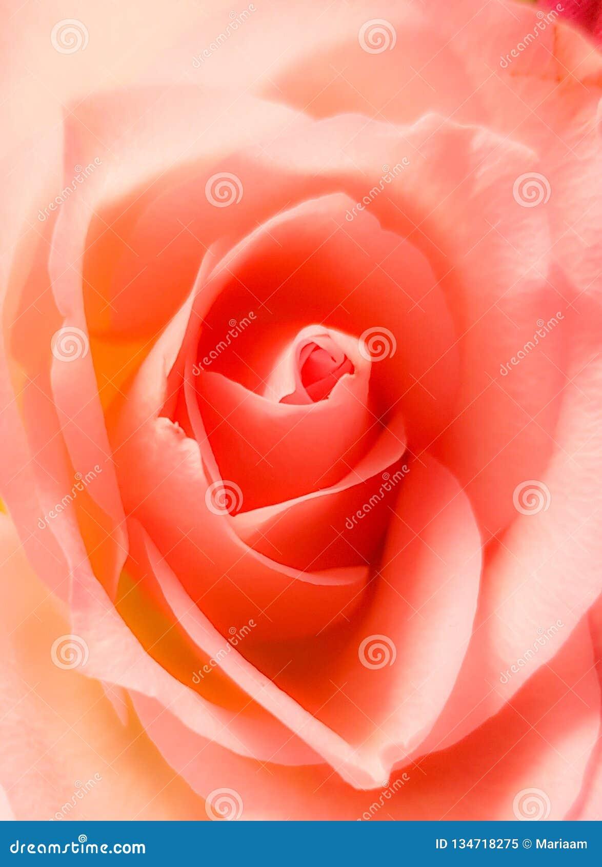 η όμορφη κινηματογράφηση σε πρώτο πλάνο αυξήθηκε Εκλεκτής ποιότητας μαλακό ρόδινο χρώμα Όμορφα άνθος και πέταλα
