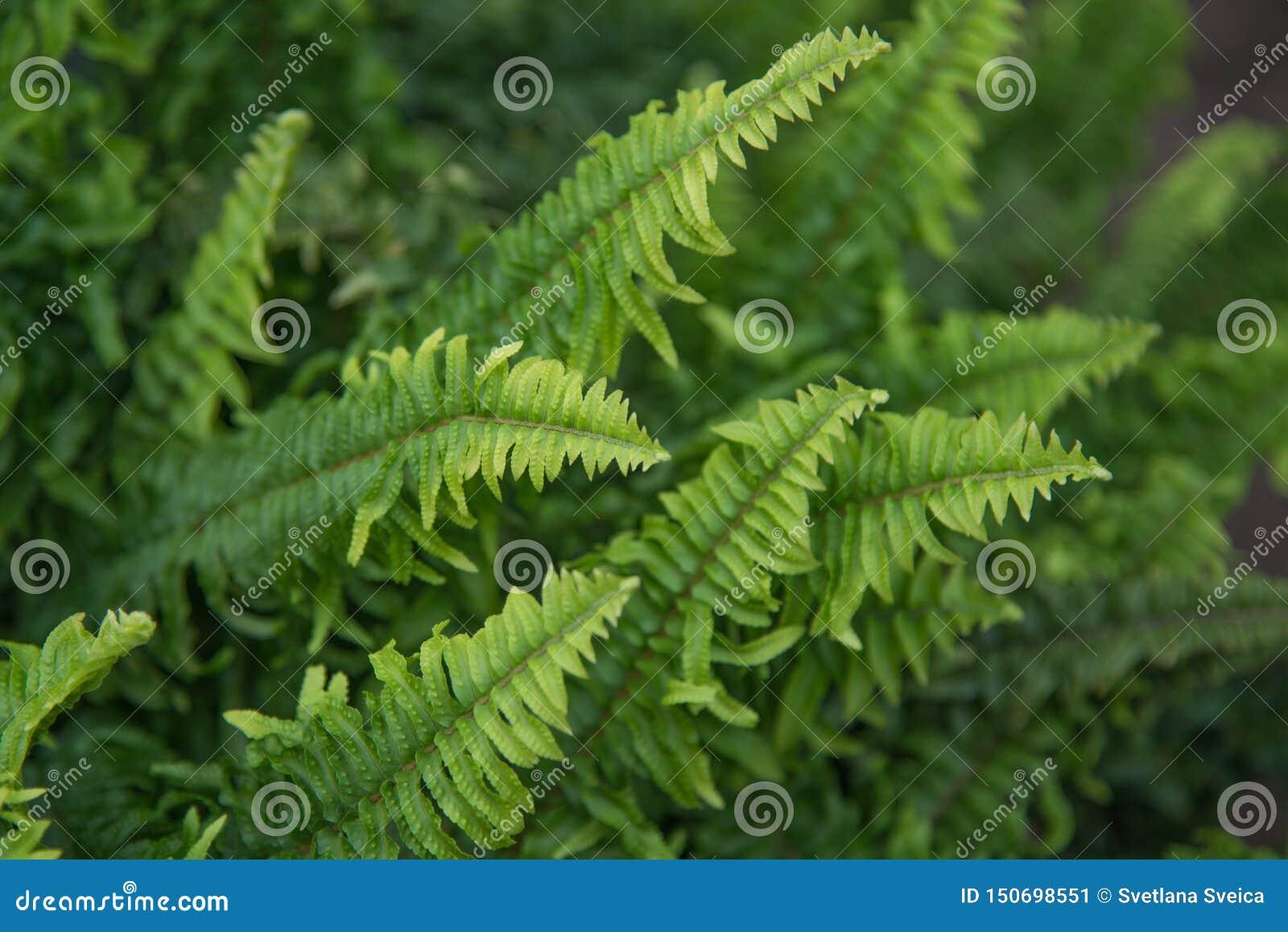 Η όμορφη φτέρη αφήνει το πράσινο φύλλωμα σε έναν κήπο Φυσικό floral υπόβαθρο φτερών