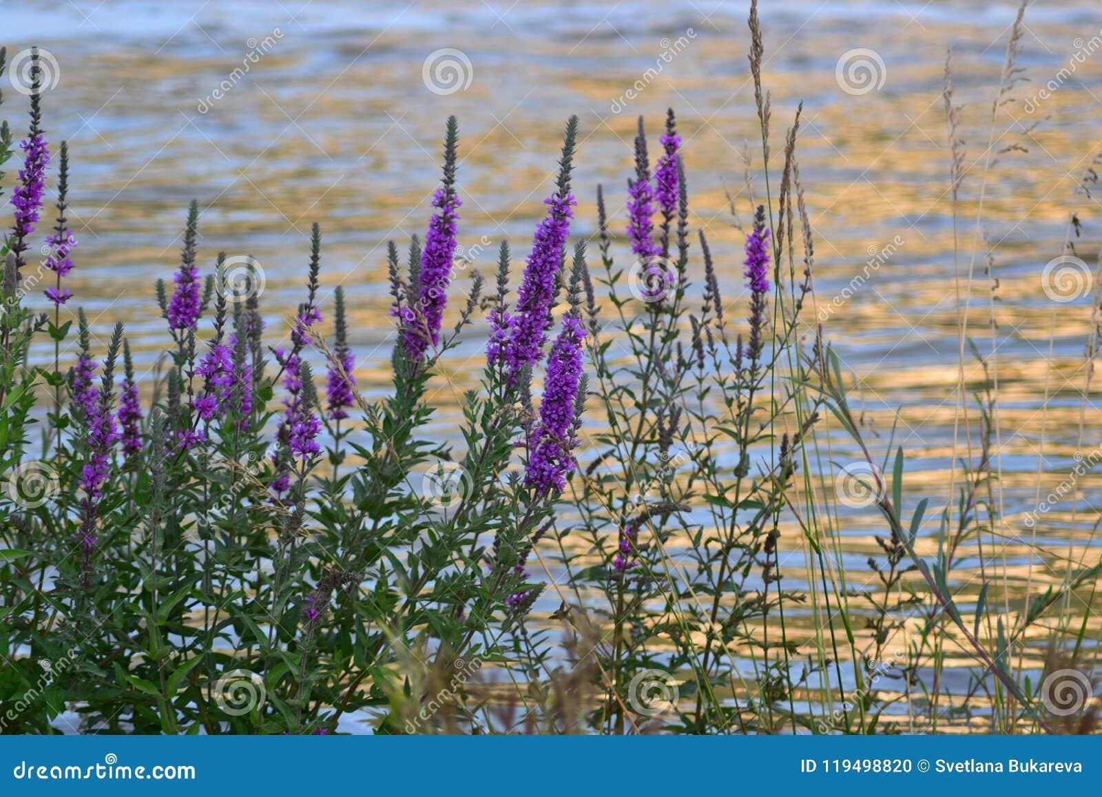 Θάμνοι με τα μικρά ιώδη λουλούδια στην όχθη ποταμού