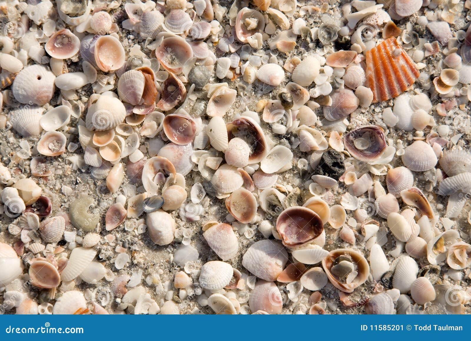 θαλασσινό κοχύλι ανασκόπ&
