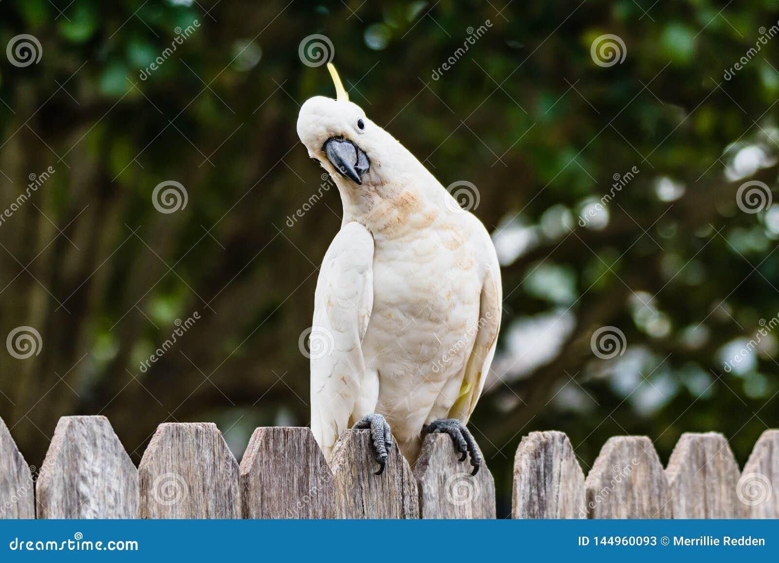 Θείο-λοφιοφόρη συνεδρίαση Cockatoo σε έναν ξύλινο φράκτη