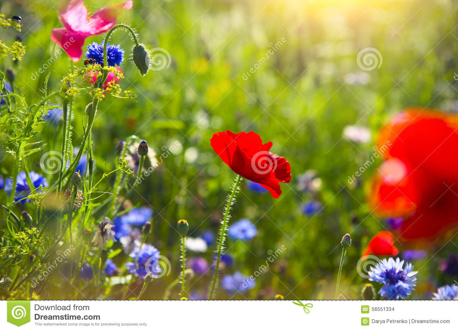 Download Θερινό τοπίο με έναν τομέα των κόκκινων παπαρουνών και Cornflower Στοκ Εικόνες - εικόνα από έξυπνο, άνοιξη: 56551334