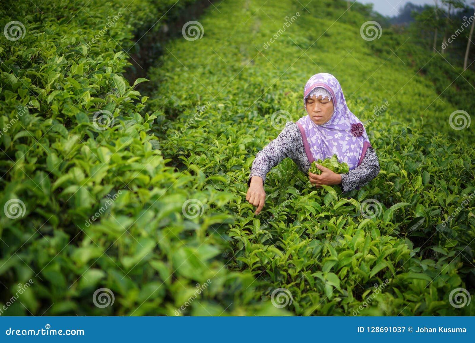 Θηλυκά φύλλα τσαγιού επιλογής εργαζομένων στη φυτεία τσαγιού