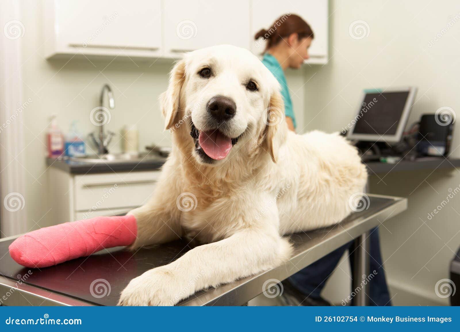 Θηλυκός κτηνιατρικός χειρούργος που θεραπεύει το σκυλί