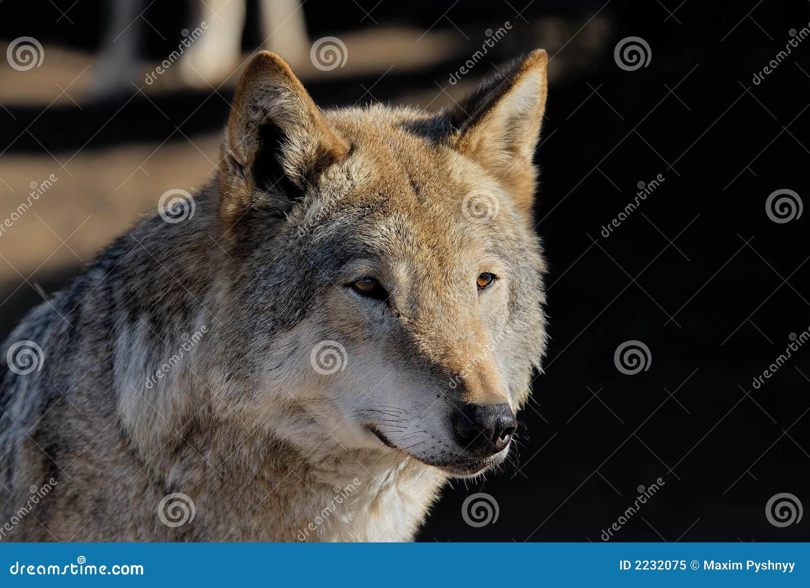θηλυκός λύκος