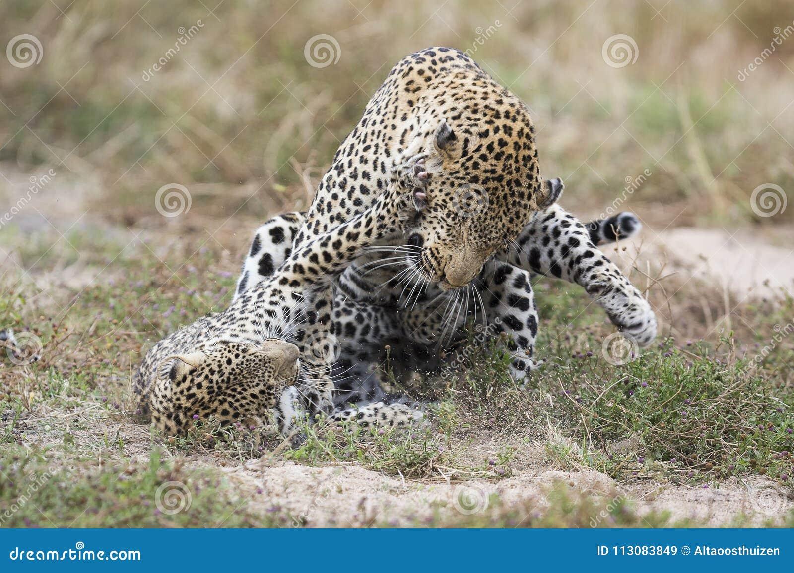 Θηλυκό αρσενικό ραπισμάτων λεοπαρδάλεων ζευγαρώνοντας στη χλόη στη φύση