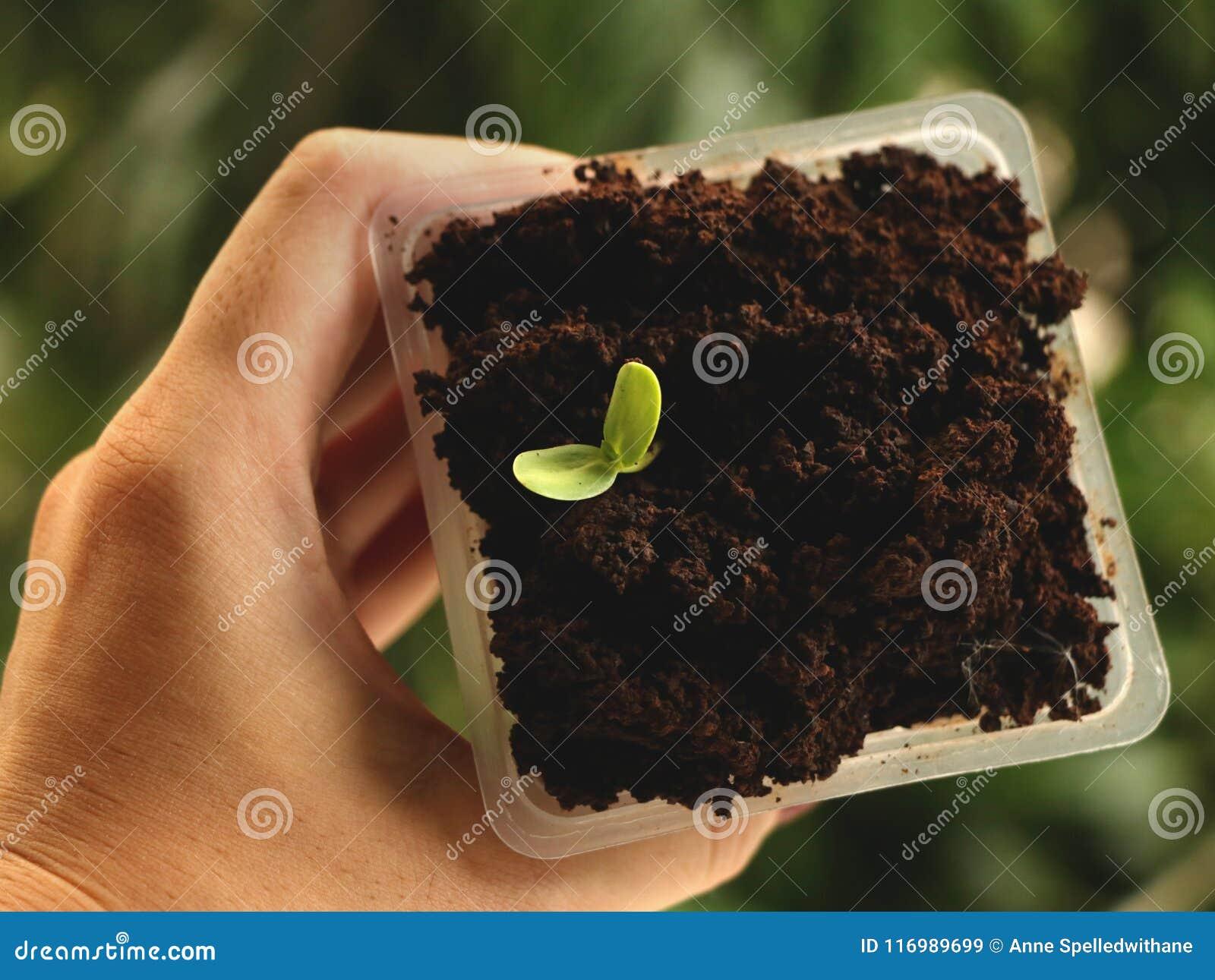 Θηλυκό τετραγωνικό πλαστικό φλυτζάνι εκμετάλλευσης χεριών της ανάπτυξης σπόρου στον καφέ - φυσικό πράσινο υπόβαθρο