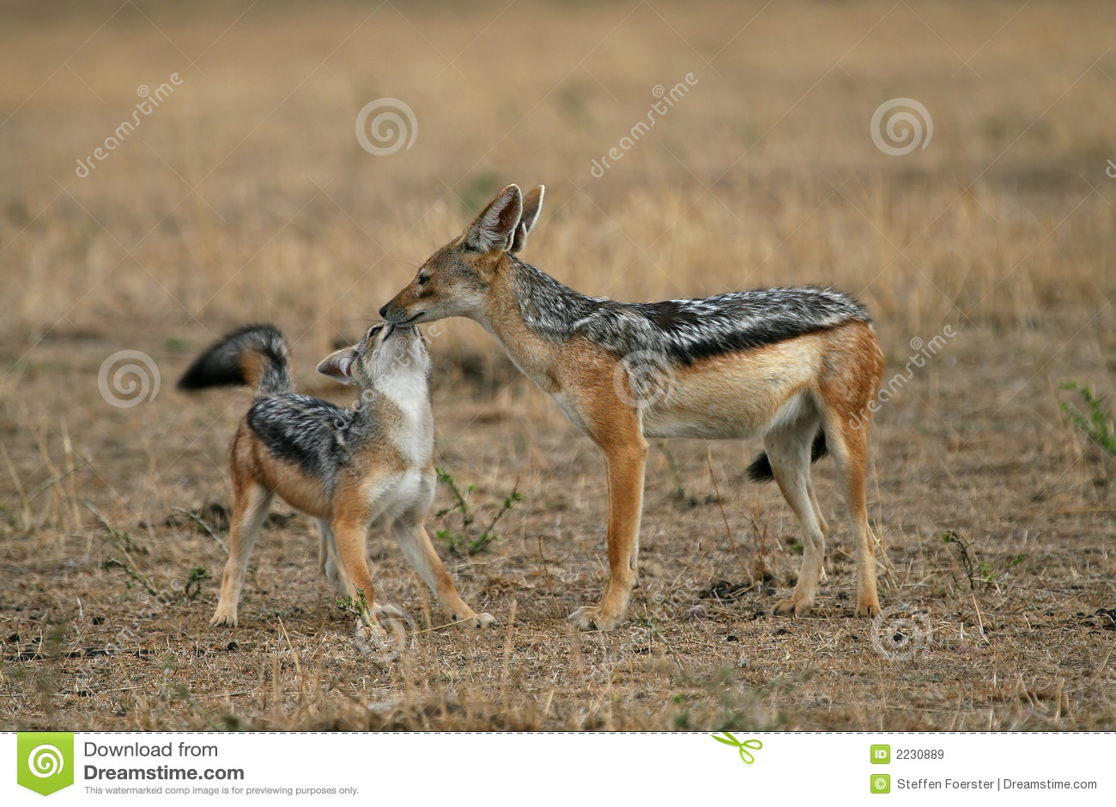 θηλυκό jackal κουτάβι