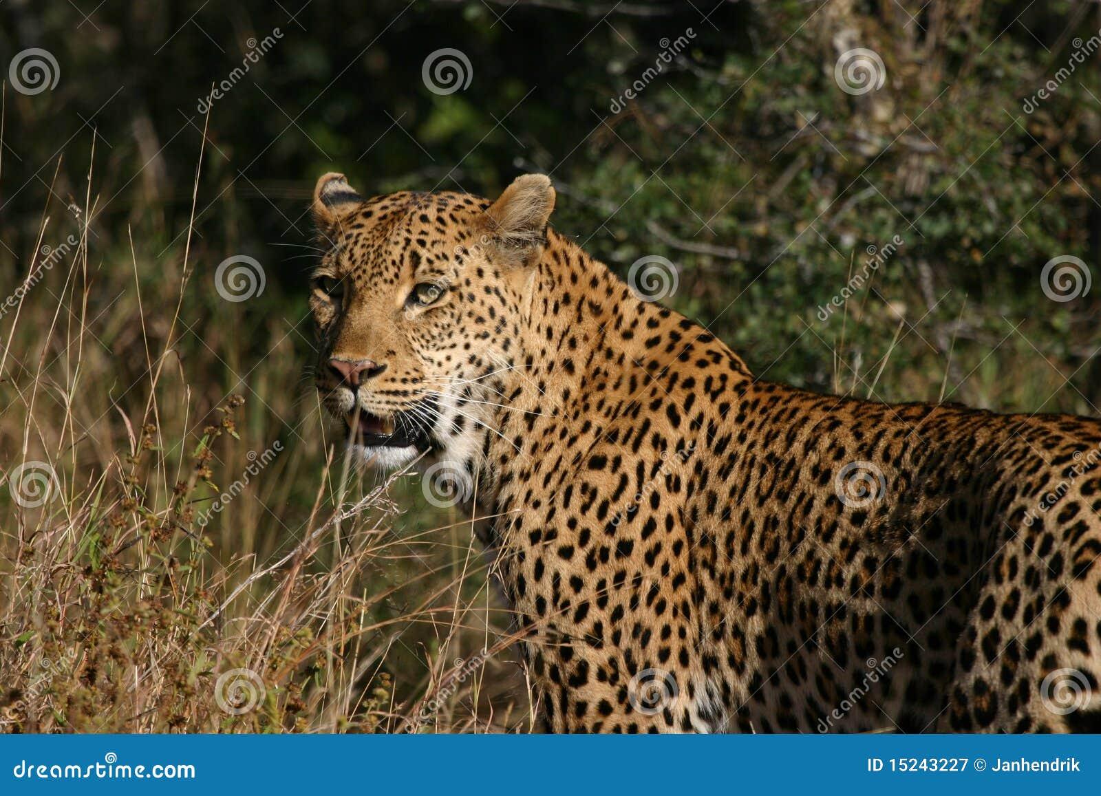 θηλυκό leopard