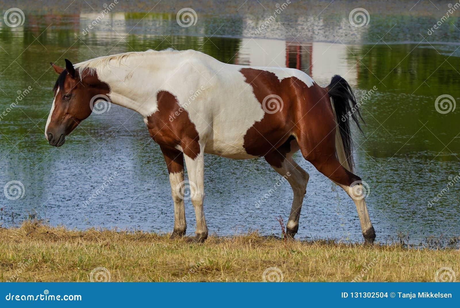 Θηλυκό pinto άλογο που παίρνει τη διαρροή