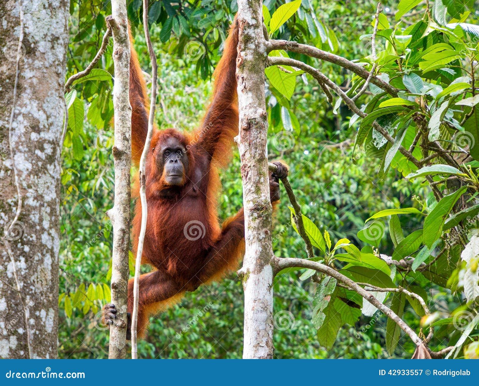 Θηλυκός Orangutan του Μπόρνεο στην επιφύλαξη φύσης Semenggoh, Kuching