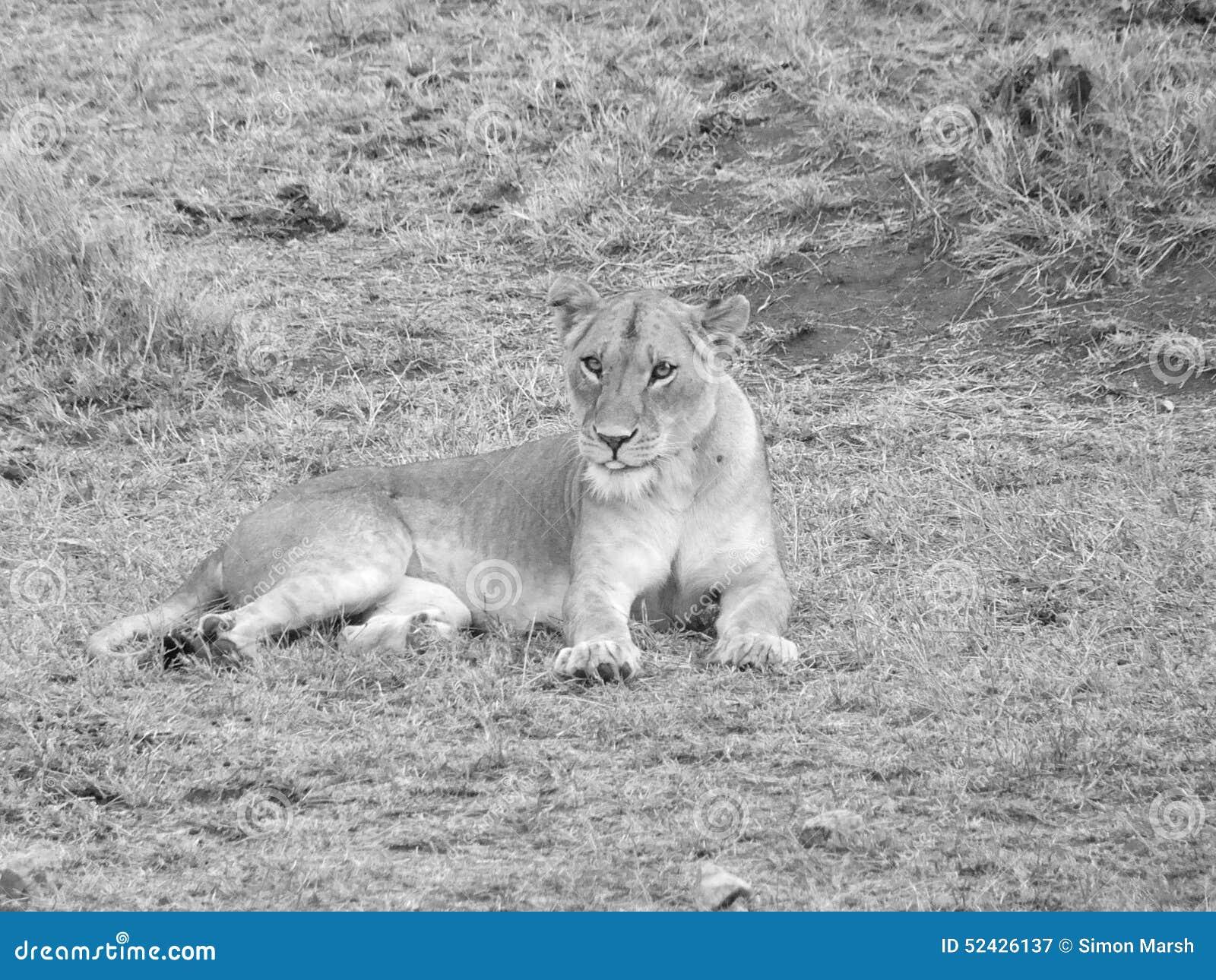 Θηλυκό λιοντάρι στη σέπια