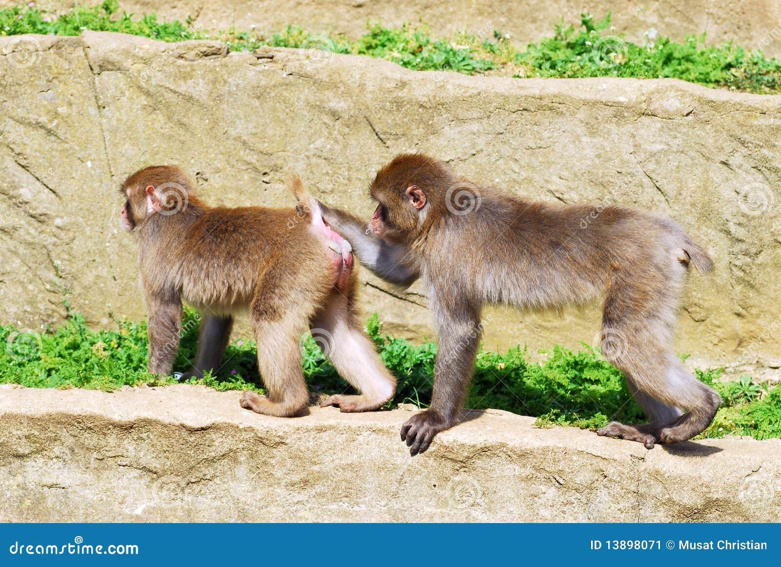 ιαπωνικός βράχος macaques