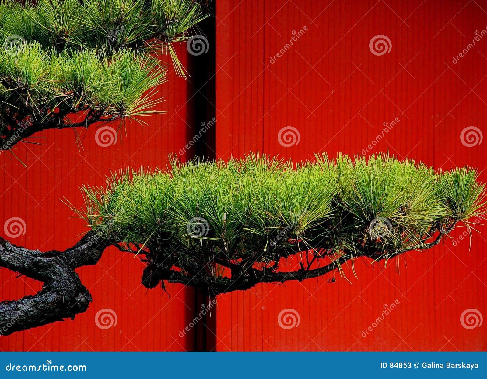 ιαπωνικό δέντρο πεύκων