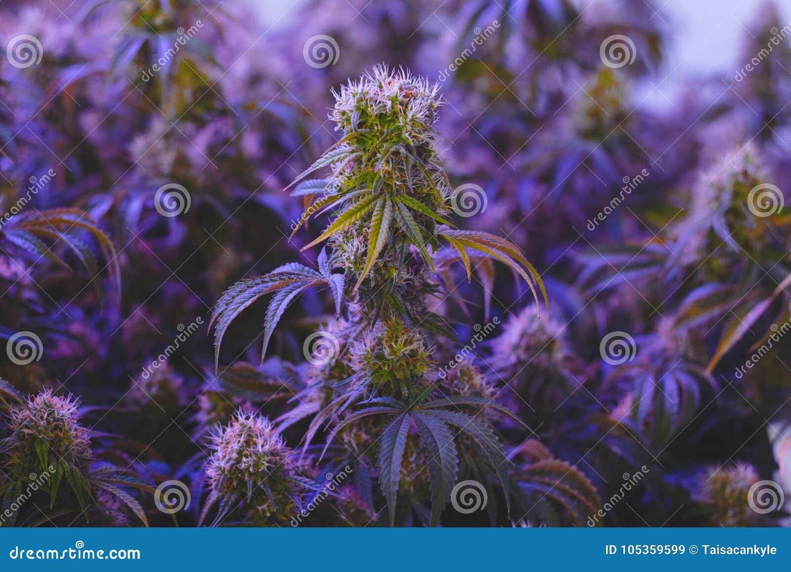 Ιατρική γεωργία μαριχουάνα για την εναλλακτική βιομηχανία υγειονομικής περίθαλψης