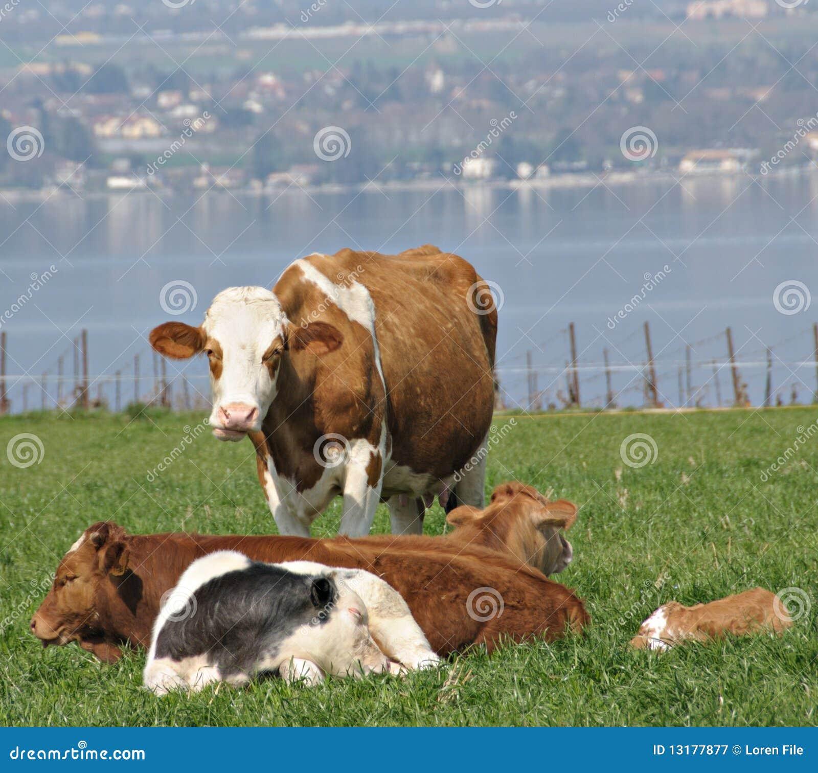 ικανοποιημένες αγελάδ&epsilo
