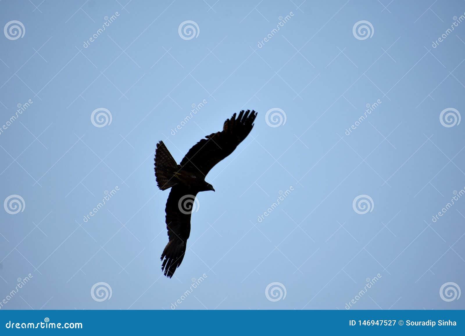 Ινδικός μαύρος ικτίνος παριών που πετά στον ουρανό