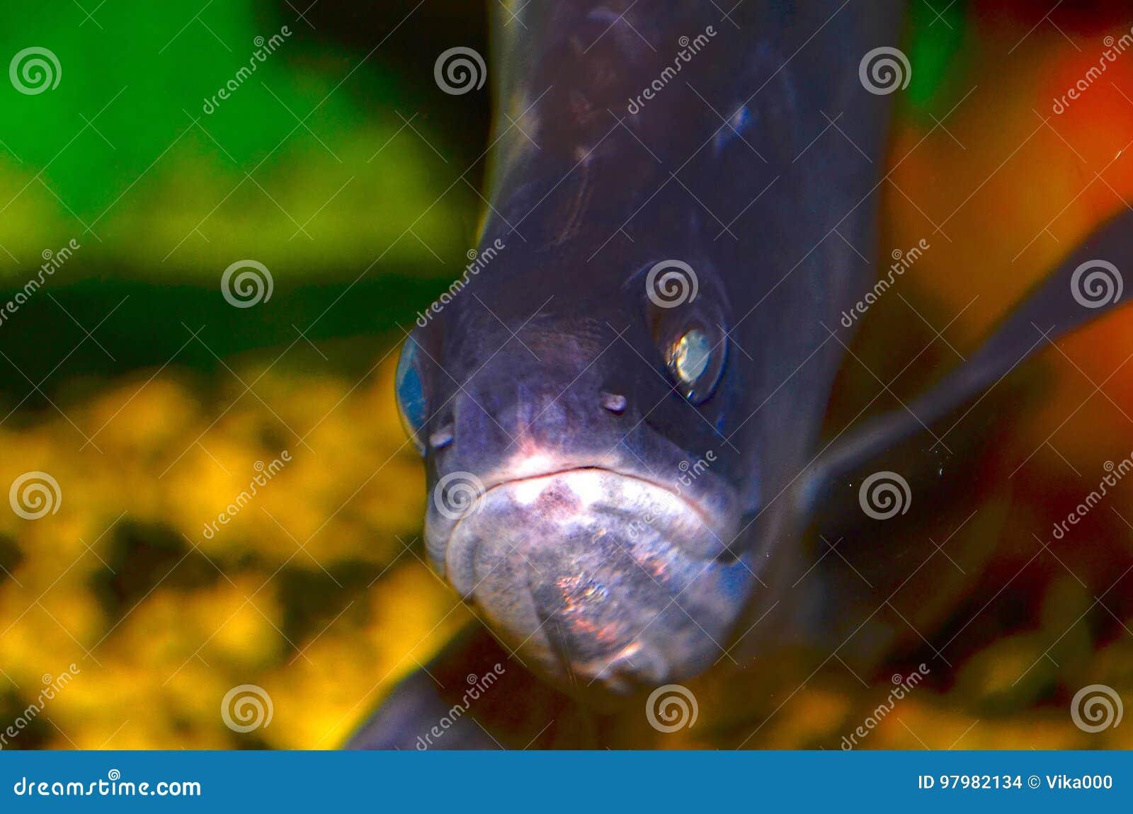 Ινδικό μαχαίρι ψαριών