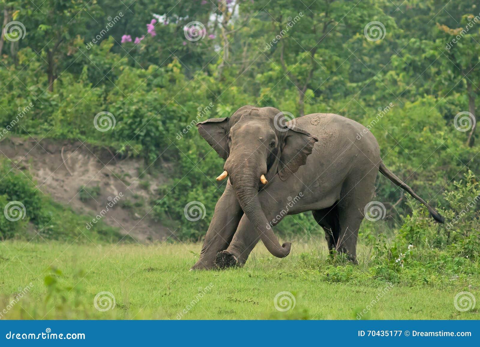 Ινδική προθέρμανση ελεφάντων, δυτική Βεγγάλη, Ινδία