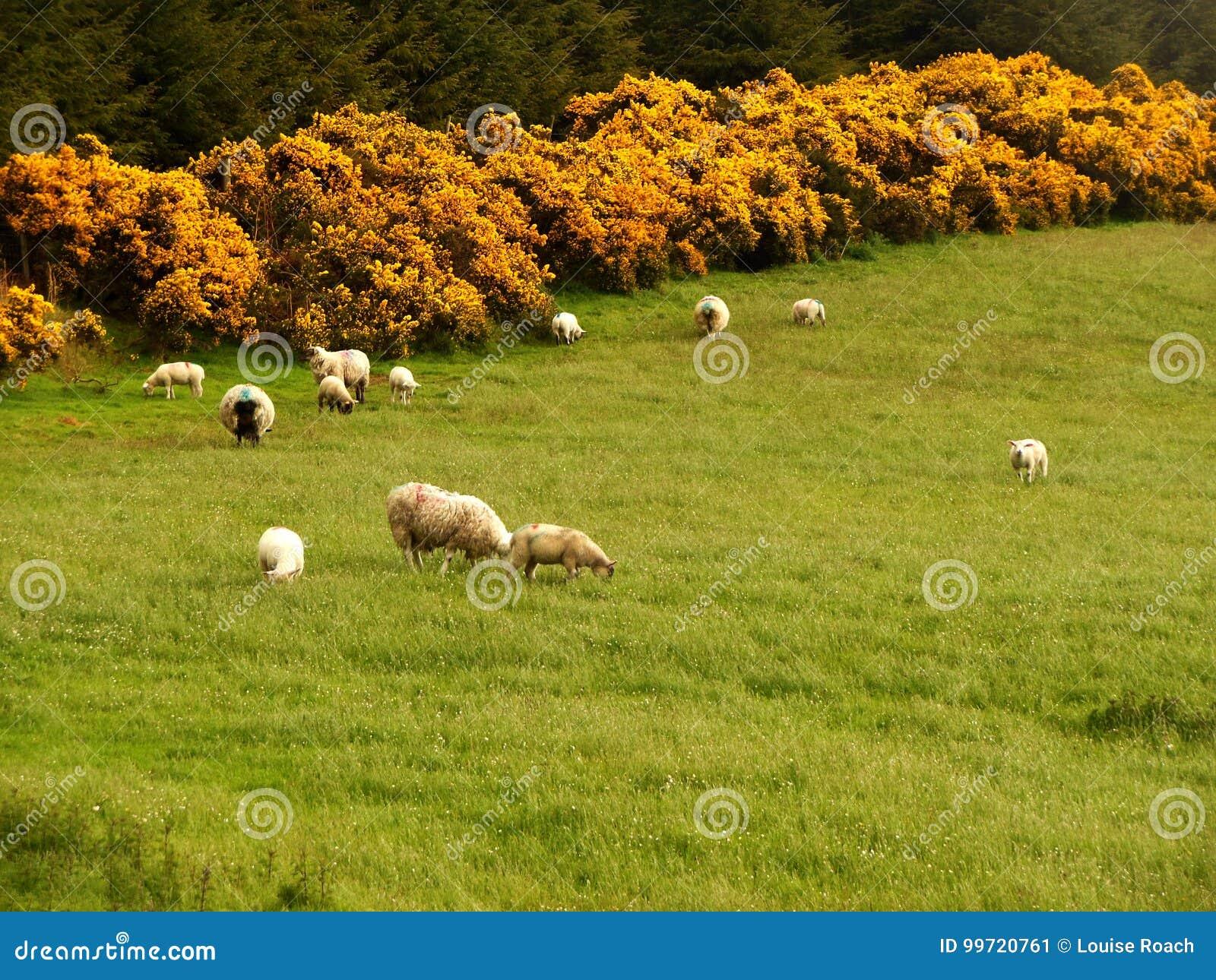 ιρλανδικά πρόβατα