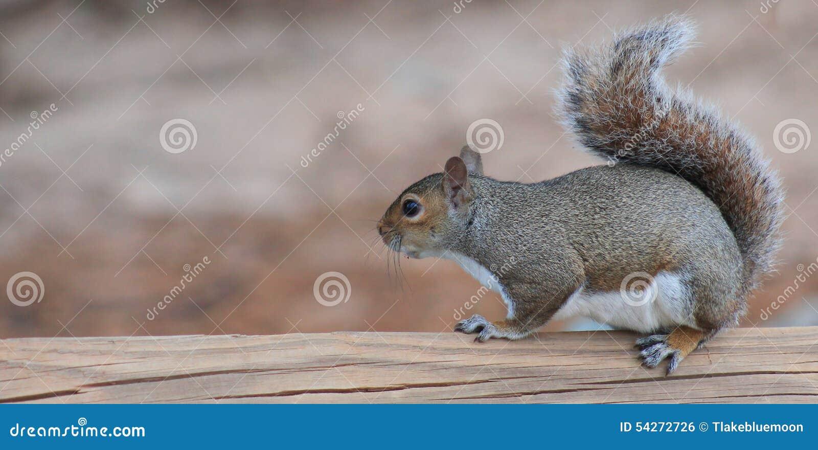 Ισορροπημένος σκίουρος