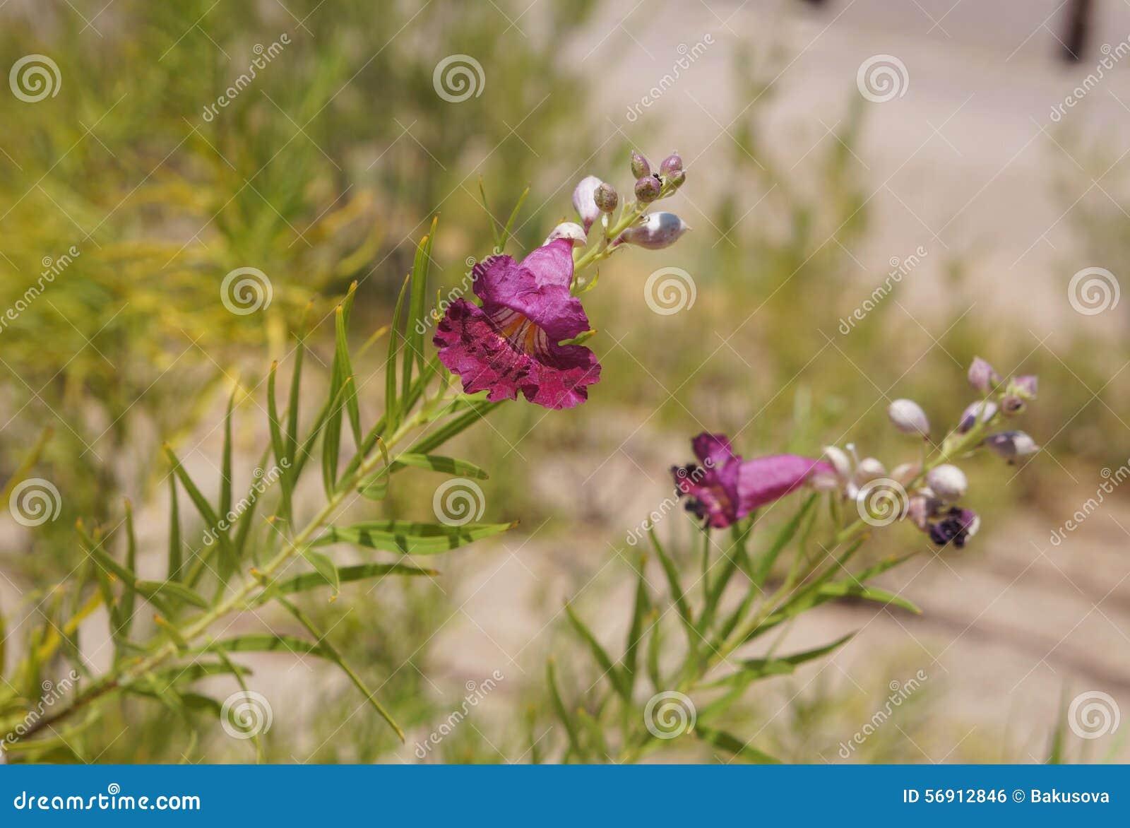 Ιτιά ερήμων (linearis Chilopsis)