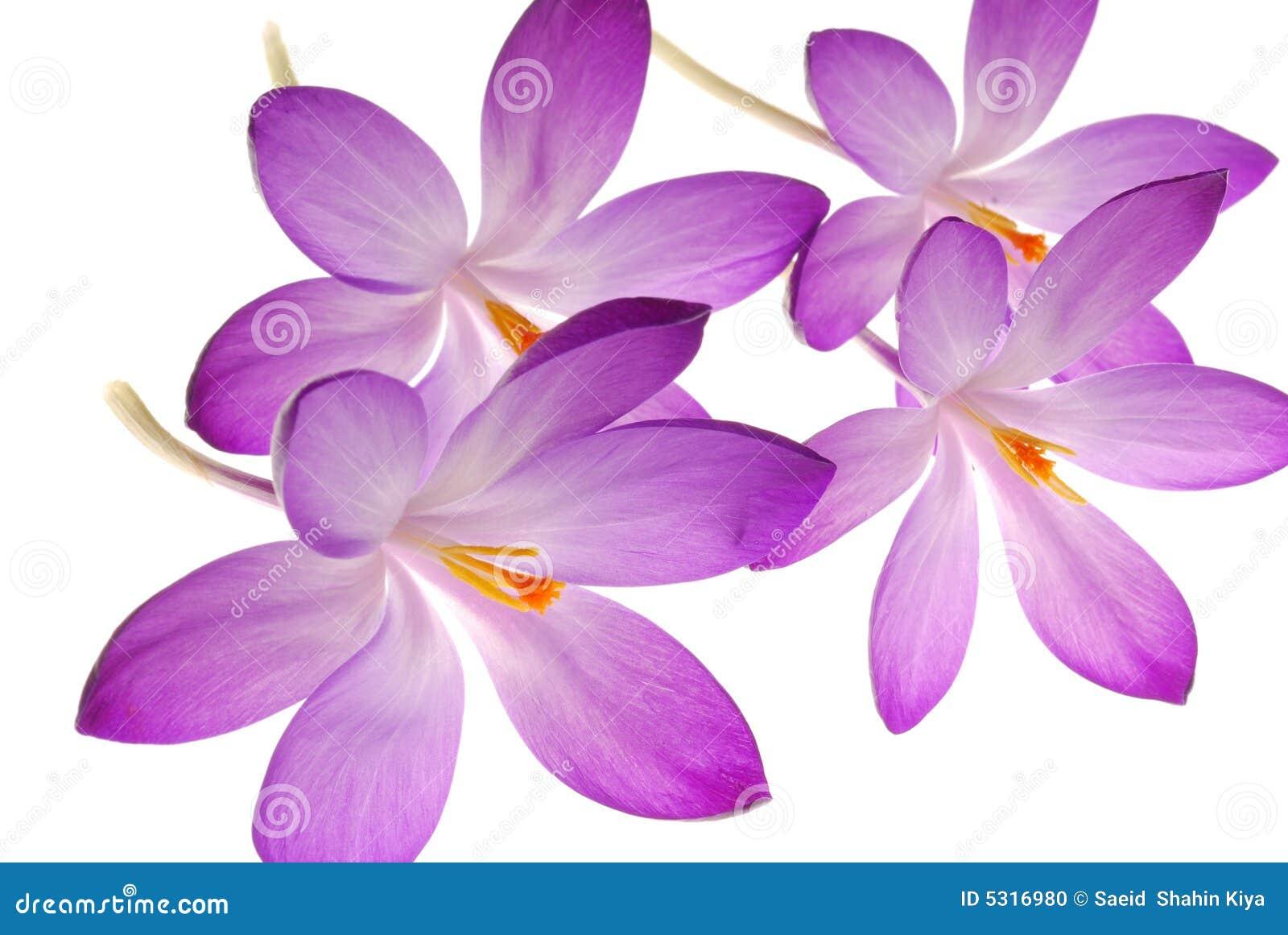 ιώδες λευκό λουλουδ&iot
