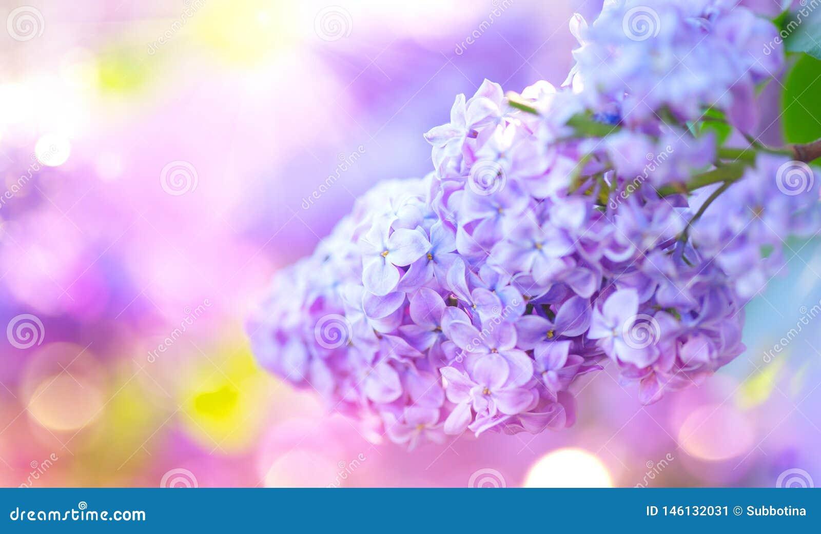 Ιώδης δέσμη λουλουδιών άνοιξη ιώδης Όμορφο ανθίζοντας ιώδες ιώδες λουλούδι σε έναν κήπο