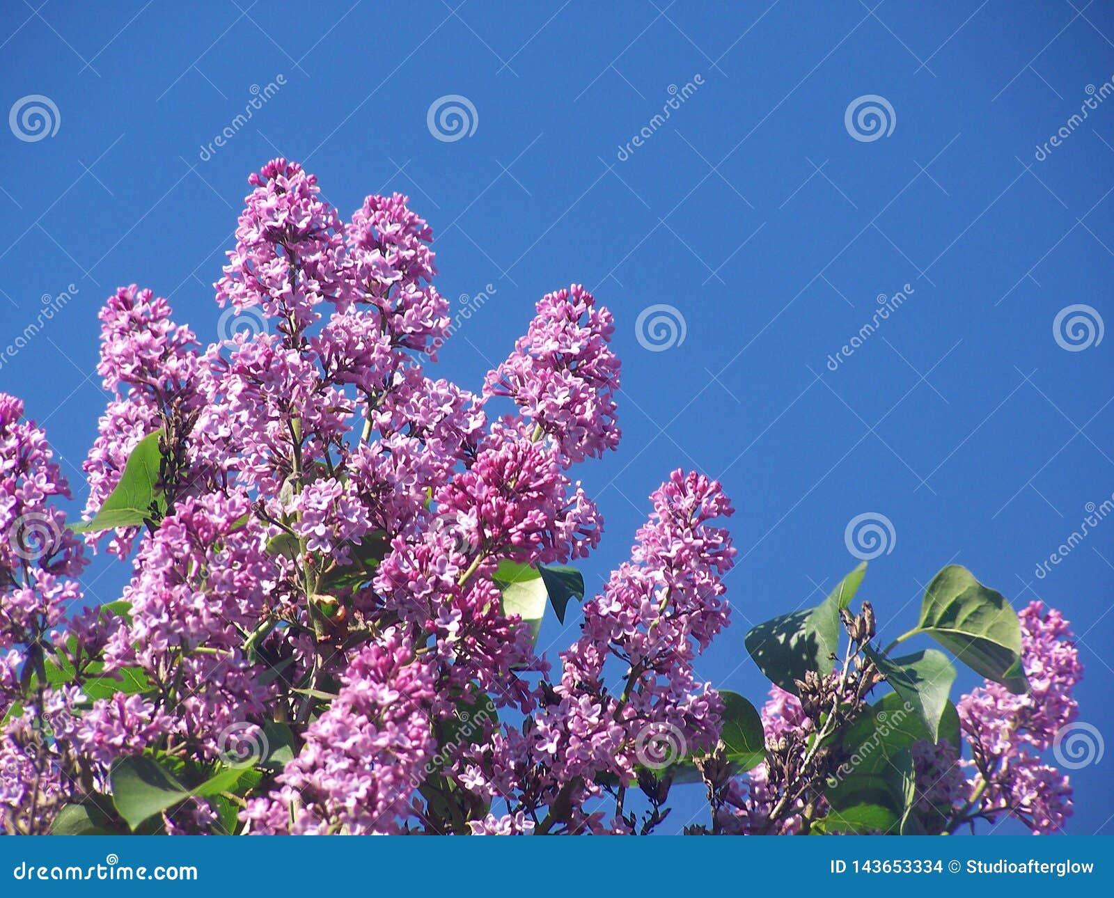 Ιώδη λουλούδια την ηλιόλουστη ημέρα με το υπόβαθρο μπλε ουρανού