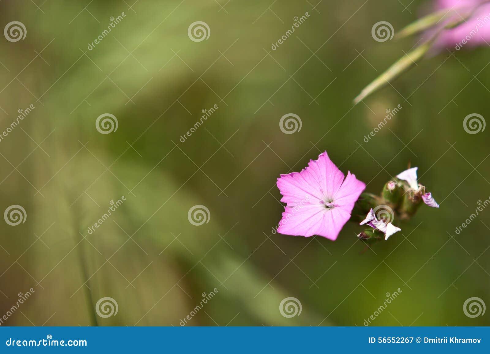Download Ιώδες λουλούδι τομέων σε μια χλόη Στοκ Εικόνα - εικόνα από επίσημος, φύση: 56552267